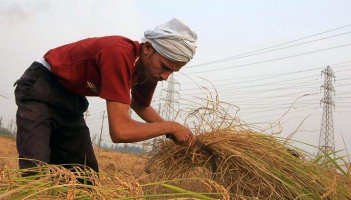 ارتفاع سعر الأرز مع بدء موسم الحصاد